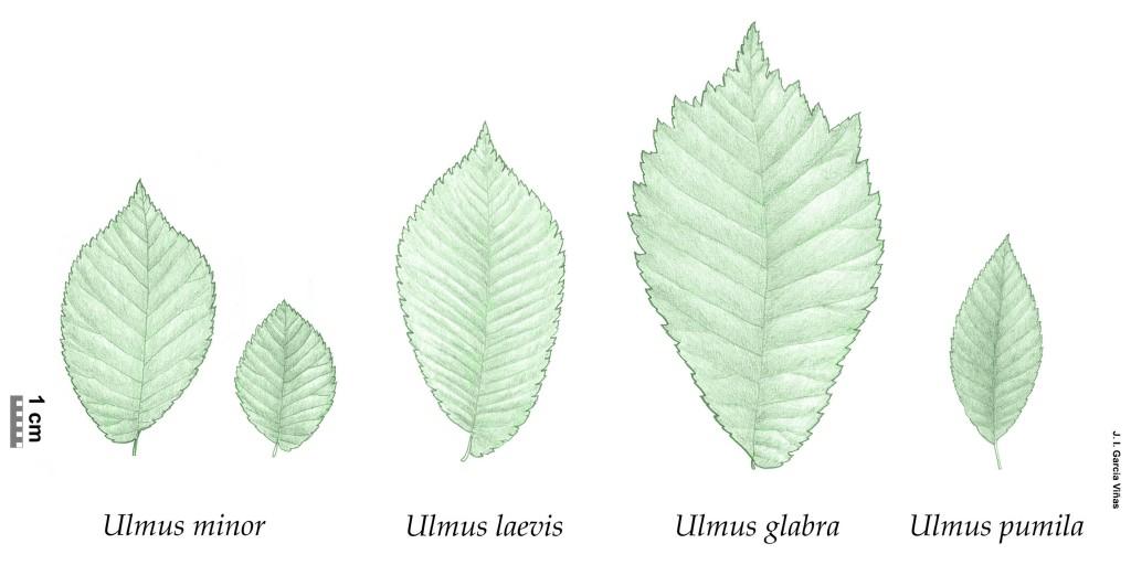 El Gnero Ulmus Life Olmos Vivos